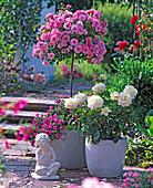 Pink 'Medley Soft Pink', 'Ambiance' (Rose), Rose stem