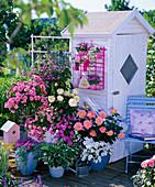 Rose 'Medley Soft Pink', 'Ambiance', 'Inspiration'