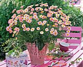 Agryanthemum (pink marguerite) as a gift