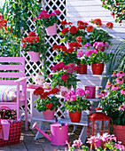 Stair shelves and hanging pots with Pelargonium trend