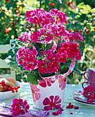 Pelargonium Flower Fairy 'Berry' (Standing Geranium)