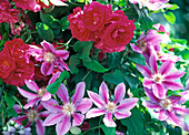 Flowers of Rosa 'Flammentanz' (Climbing Rose) and Clematis