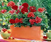 Geraniums in orange metal flower box