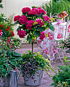 Hydrangea 'Amsterdam' (Hydrangea) stem underplanted