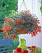Begonia 'Bonfire' (begonia) in Korbampel