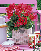 Pelargonium Fireworks 'Cherry' (Stellar geranium)