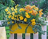 Argyranthemum 'Nice of Nice', Tagetes