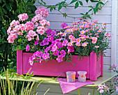 Pink wooden box with pelargonium (geranium)