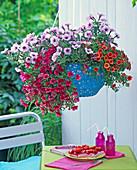 Petunia Calimero 'Mary Blue' (Petunia), Calibrachoa