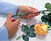 Cutting Rosa (Rose) stem very diagonally