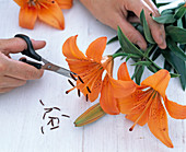 Cutting off the stamen of Lilium (lily) with scissors