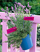 Lavandula (lavender) and thymus (thyme) in turquoise bucket