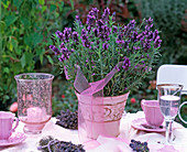 Lavandula 'Hidcote Blue' with pink gauze ribbon in pink flower pot