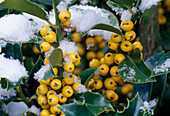 Snow on Ilex 'Bacciflava' (holly) with yellow berries