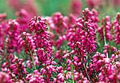 Erica carnea 'Myretoun Ruby', flowers from February to April