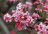 Branch of viburnum farreri (snowball) with flowers