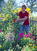 Woman harvesting tomatoes in the farm garden