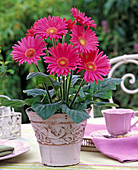 Pink gerbera in a wicker pot, pink cup