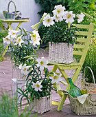 Lilium longiflorum 'Gelria' (trumpet lily)