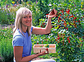 Woman picking ribes (red currant)