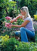 Woman cuts off withered flowers of Rosa 'Leonardo Da Vinci'
