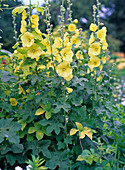 Alcea ficifolia (hollyhock rose) yellow, simple