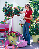 Woman picking ribes (redcurrants), stem and bush