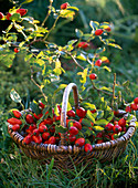 Basket with roses (rosehip) in the grass