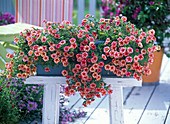 Calibrachoa Celebration Star 'Orange'