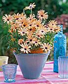 Osteospermum Symphony 'Lemon' (cape daisy)