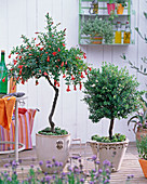 Pomegranate and myrtle stems