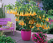 Brugmansia syn.datura (angel's trumpet) with yellow flowers