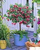 Shadow, Fuchsia (Fuchsia) planted with Hedera