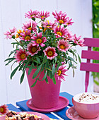 Gazania (midday gold) rose-colored