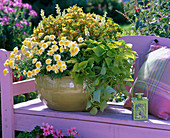 Bowl planted with Argyranthemum 'Pacific Gold' (marguerite)