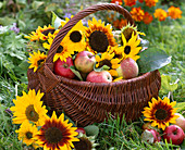 Basket with malus (apples) and helianthus (sunflower) to Thanksgiving
