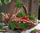 Phaseolus (beans) Basket