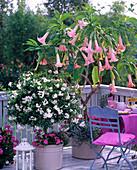 Datura 'Pink Favorit' syn. Brugmansia (Angel Trumpet)
