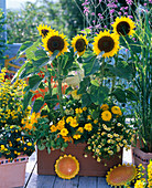 Helianthus 'Prado Gold' (sunflower) in the big box