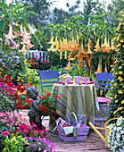 Terrace with Datura in yellow and pink