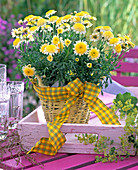Argyranthemum 'Pacific Gold' (Stuffed Marguerite)