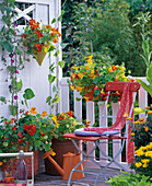 Blooming nasturtium on the balcony