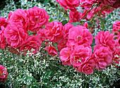 Rose 'Bad Birnbach' (ground cover rose), often flowering