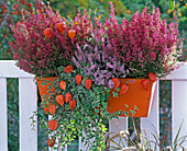 Orange metal flower box with Erica gracilis (pottery)