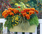 Yellow balcony box with Chrysanthemum Yahou 'Orange'