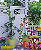 Autumnal balcony with apple trees in the pot