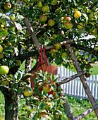 High ladder leaning on malus (apple tree)