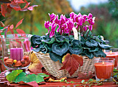 Pink cyclamen, white margined in a light basket