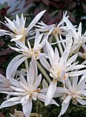 Colchicum autumnale 'Alboplenum' (autumn crocus)