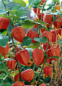 Physalis franchetii (lampion flower)